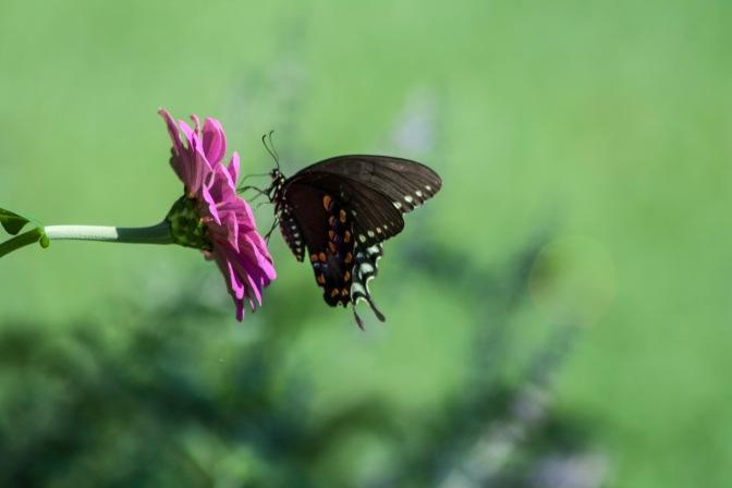 Zinnia & Butterfly