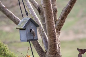 chickadee househunting